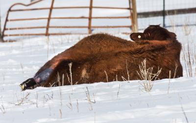 Winter Calving in Wallow County