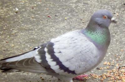 Pigeon not always a pest