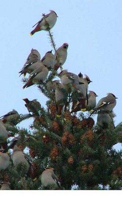 The Cedar Waxwings Christmas