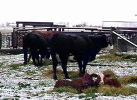 Calving in the valley