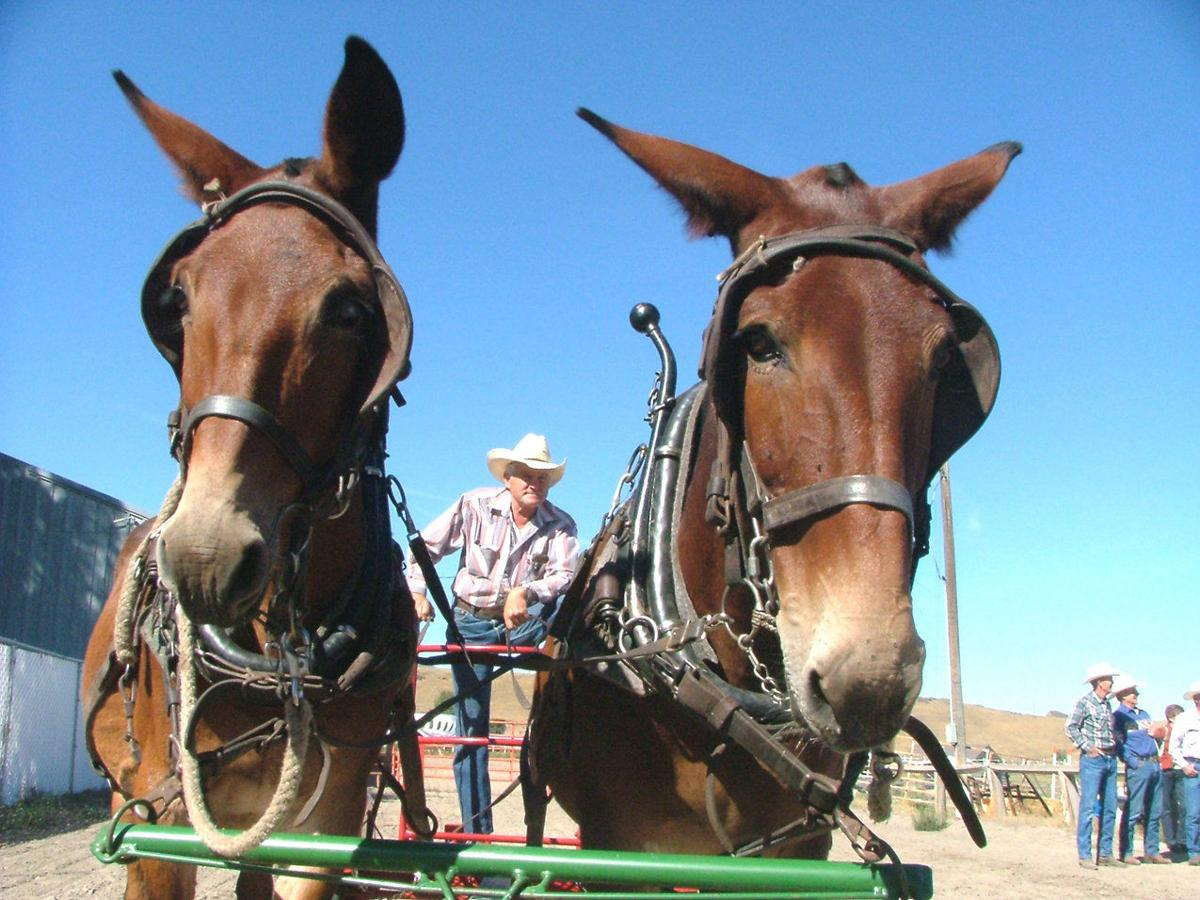Mules pack in the fun at Mule Days No. 35