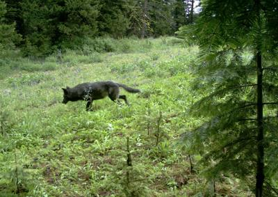 Wolf plan review brings management zones, hunting to forefront