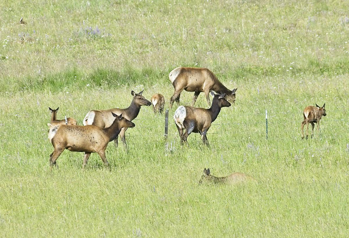 Elk herd on Zumwalt 3P.jpg
