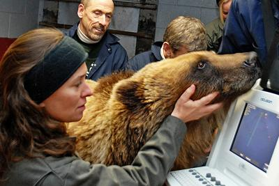 Grizzly bear cardiac ultrasound