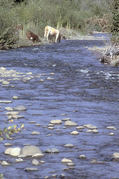 Researchers track cows to determine riparian area impact