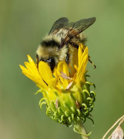 Zumwalt Pollinator