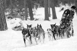 Sled dog race on despite acrimony