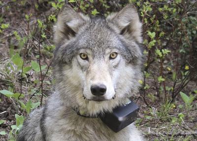 ODFW confirms wolf depredations