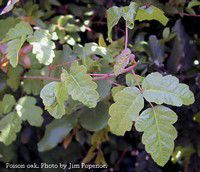 Health NW: Poison oak and poison ivy