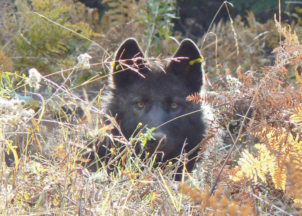 Are wolves dangerous?