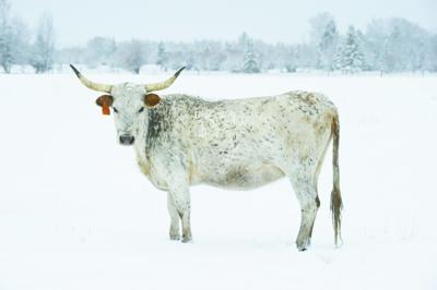 white cow in snowP.jpg