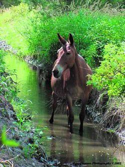 It takes a horse to make a mule: a brief introduction to mules