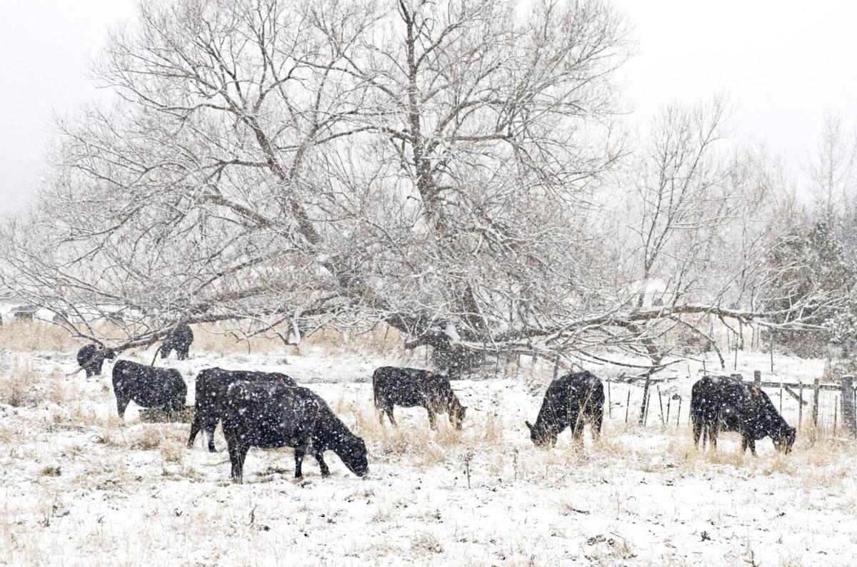 Cattle grazing snow 6201 112519.jpg