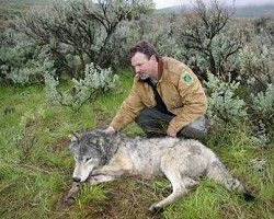 Wolf captured, collared in Eastern Oregon
