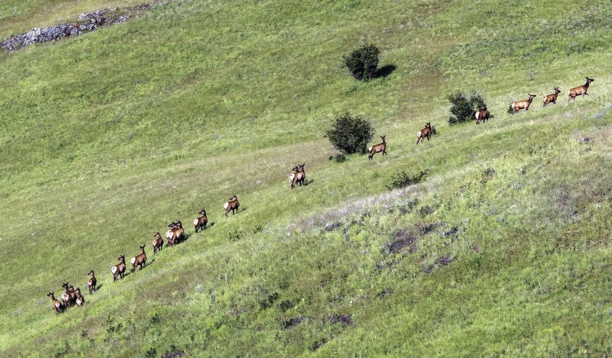 Elk encroach