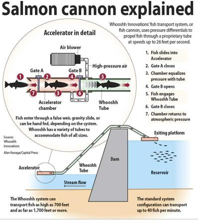 Salmon cannon explained