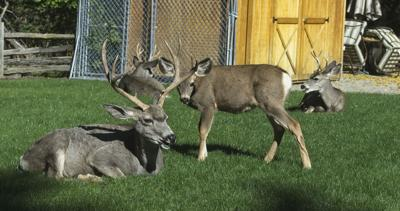 Mule deer on private property in the Wallowa Lake Village area