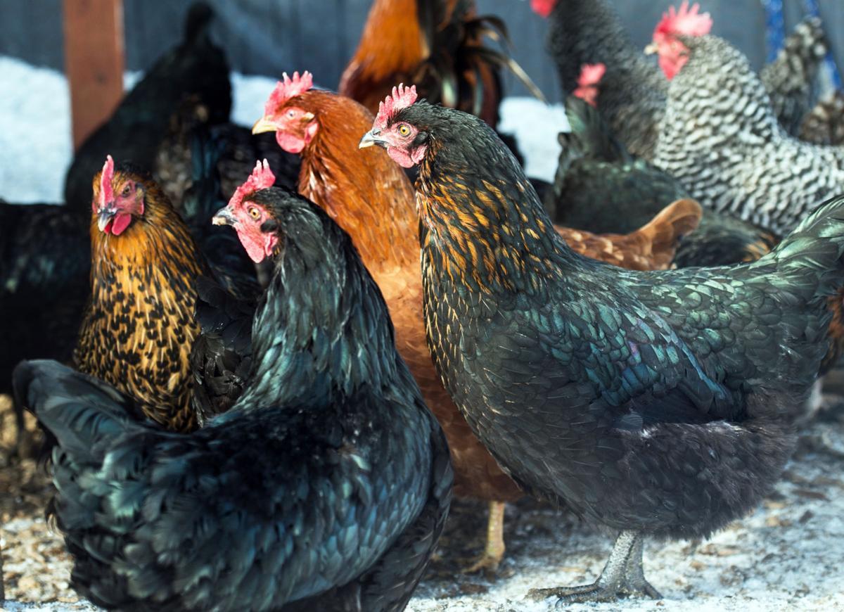 Chickens #1