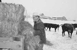Feeding Cattle