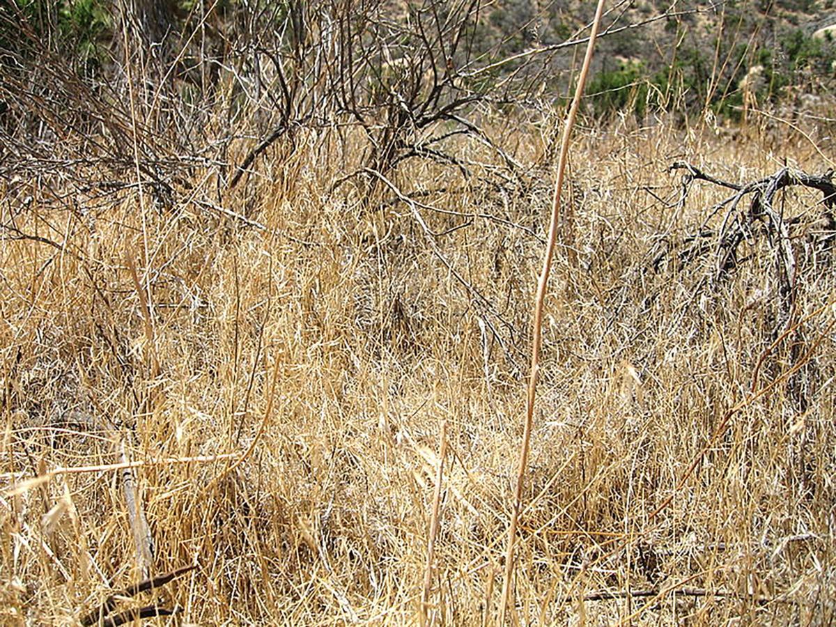Cheatgrass.jpg