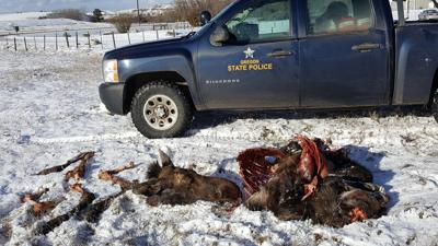Moose poached in Wallowa County