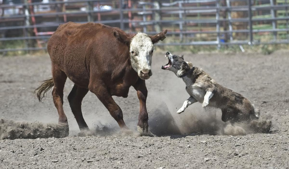 Stockgrowers Rodeo dog and steer 1