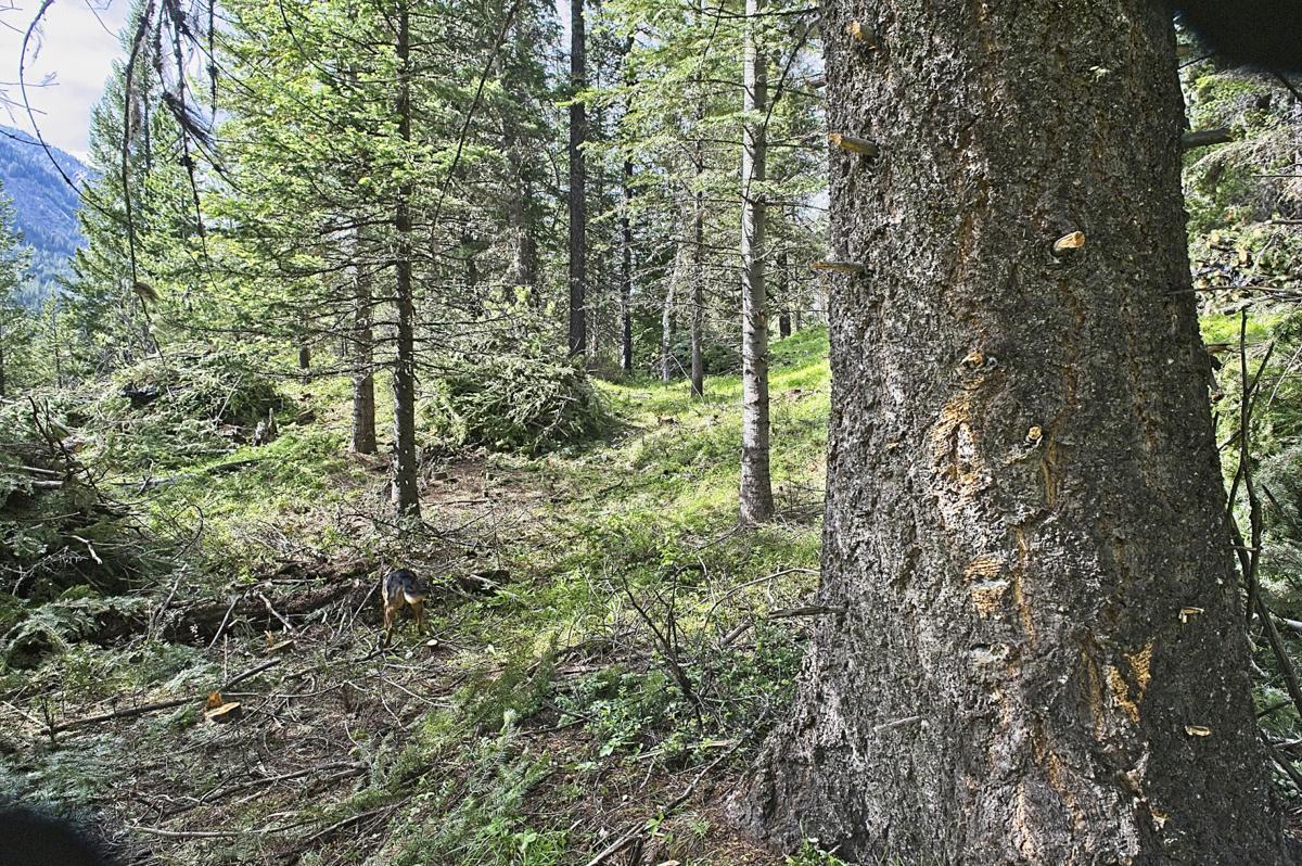Forest thinning Lostine corridor
