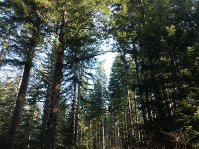 Clatsop County Douglas fir