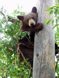 Wallowa County Outdoors: Black bears move to valleys, canyons as fruit ripens