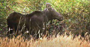Moose found meandering in meadow near Enterprise