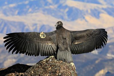 Young Condor