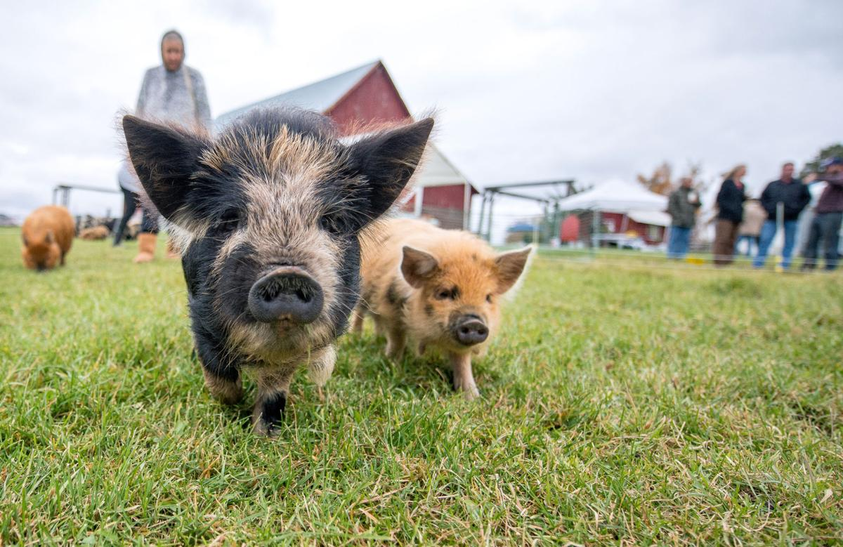 Porking out at the Pig-nic