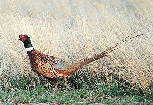 Permission needed to hunt pheasant on private land
