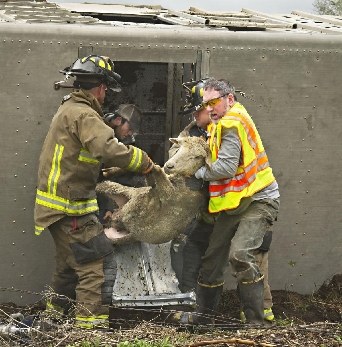 Sheep Truck wreck 4P.jpg