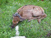 Study to determine cougar impact on calf elk