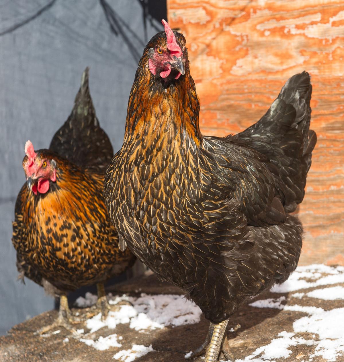 Chicken #2