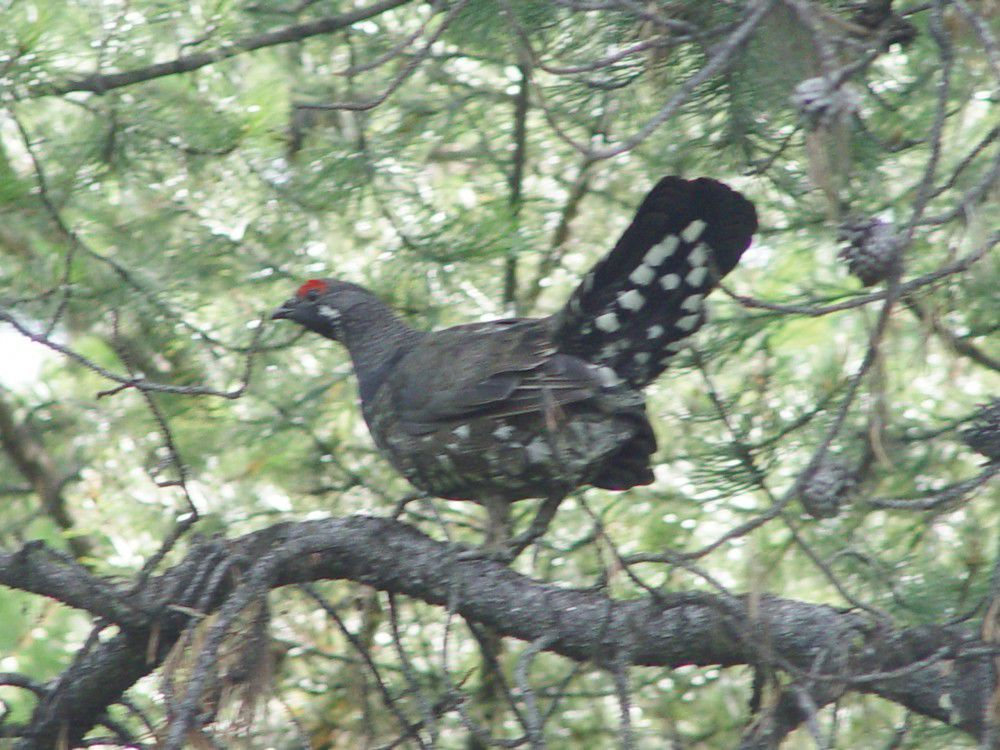 Four varieties of grouse live in Wallowa County