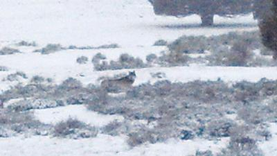 Famous wolf OR-7 remains  a loner