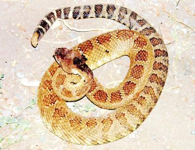 Rattler slithers into downtown Lostine