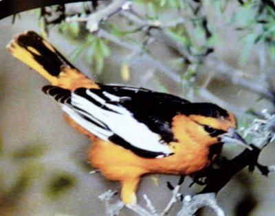 Flashy Bullock's oriole rare sight in Wallowa County