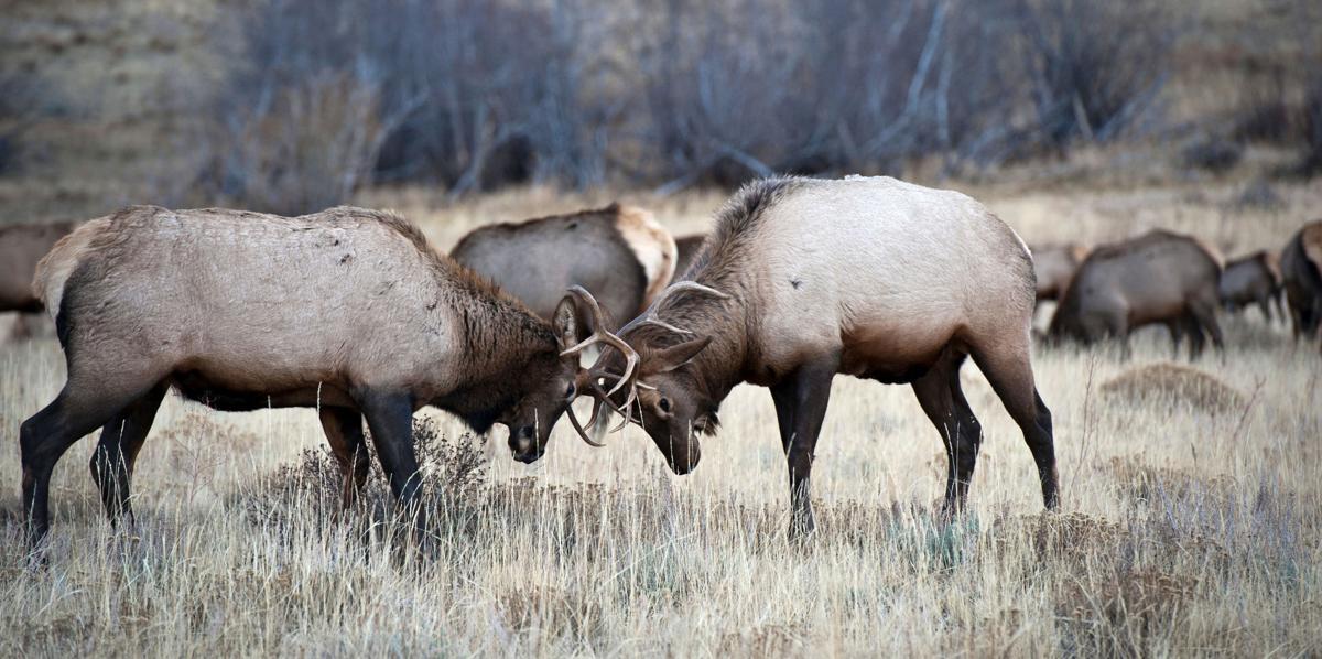 Elk Bulls #1