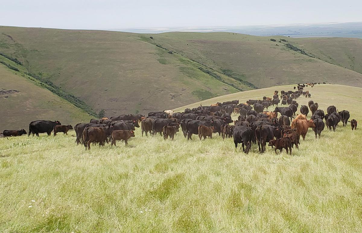 Cassie Miller cattle