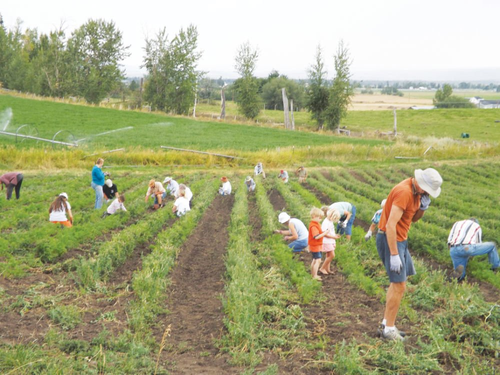 Dozens turn out to hand-weed Thiels' crop