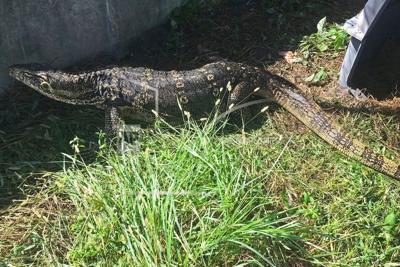 8 ft lizard that terrified neighborhood caught