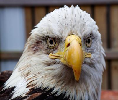 trooper eagle