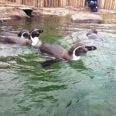 Penguins Dive In At Scovill Zoo