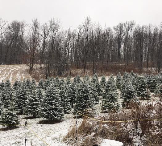 ChristmasTreesBennies