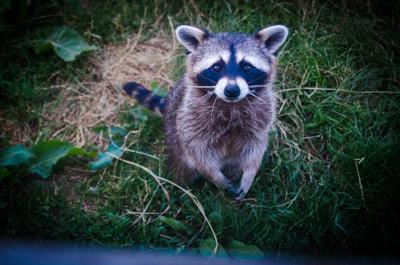 baby raccoon, wild baby animal
