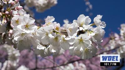 VIDEO: 'Peak bloom' for Wilmington cherry blossoms set for this weekend
