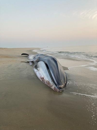Fin Whale beached on the Cape Henlopen coast